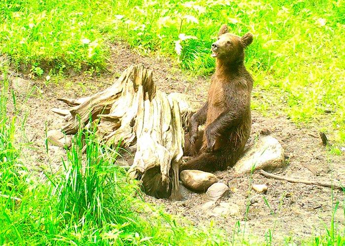Иллюстрации к сказке «Медведь-музыкант» сфотографировали в Алтайском заповеднике