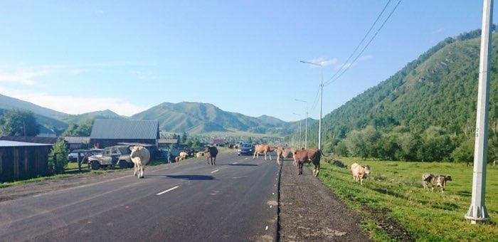 Правильно пасти коров научили шебалинских фермеров сотрудники ГИБДД
