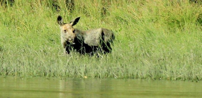 В Алтайском заповеднике впервые за 15 лет заметили лося
