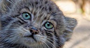 Детеныши манулов подрастают в новосибирском зоопарке