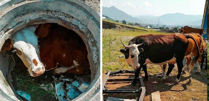 Пожарные поймали змею, напугавшую детей, а также спасли теленка и корову