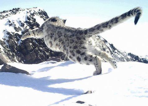 Восемь ирбисов живут на хребте Чихачева: итоги экспедиции «По следам снежного барса»
