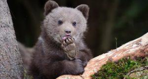 В Алтайском заповеднике появится пункт реабилитации медвежат-сирот