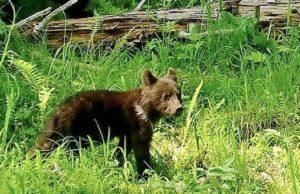 Секреты воспитания медвежат-сирот