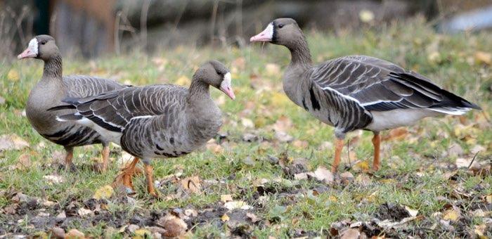 В Алтайском заповеднике заметили белолобых гусей. Их не было здесь 70 лет