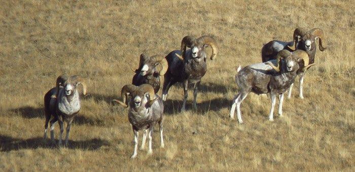На Алтае задержали участников браконьерской VIP-охоты на аргали