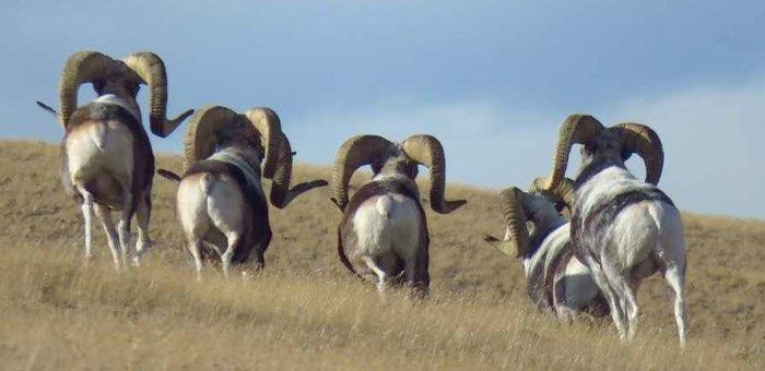 Генпрокуратура поручила проверить сообщения об охоте на аргали