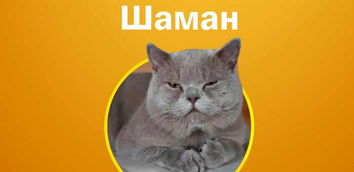 Кот по кличе Шаман победил в конкурсе «Главная кошка Горно-Алтайска»