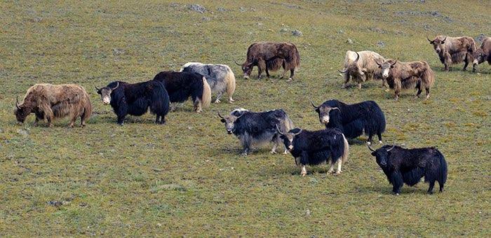 Из-за монгольского ящура у алтайских аграриев возникают проблемы со сбытом мяса