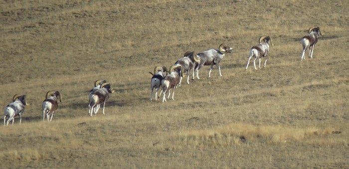 Возможно, животные просто не успели откочевать в Монголию: WWF о резком росте численности аргали