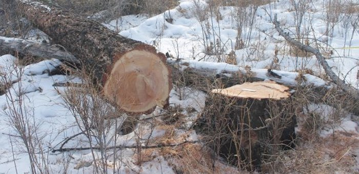 28 лиственниц незаконно срубил житель Усть-Канского района
