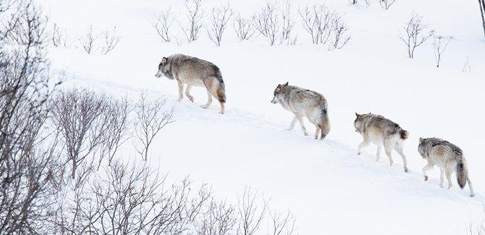 Шесть волков разрешили добыть в Кош-Агачском районе