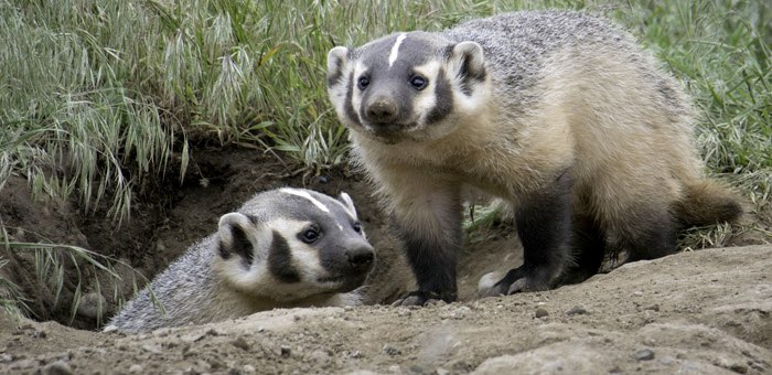 У лисы – бешенство, у барсука – трихиннелез: Охоткомитет предупреждает об опасности