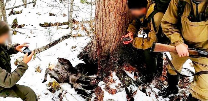 Браконьеры убили в заповеднике семь особей кабарги, медведя и зайца