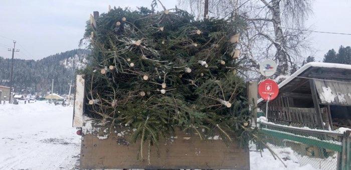 328 пихт незаконно срубил житель Иогача. Он планировал продать их в Горно-Алтайске