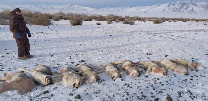 13 волков добыли в Кош-Агачском районе в новогодние праздники