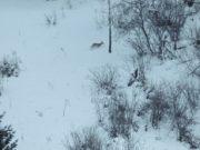 Из-за снегопадов косули в Алтайском заповеднике спускаются с гор к озеру