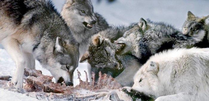 За год уничтожили 377 сельхозживотных: в Улаганском районе лютуют волки