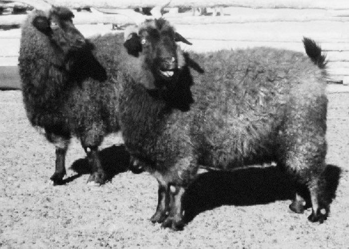 Горно-Алтайская пуховая коза