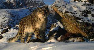 Альпинистов и горных туристов научат искать следы снежного барса