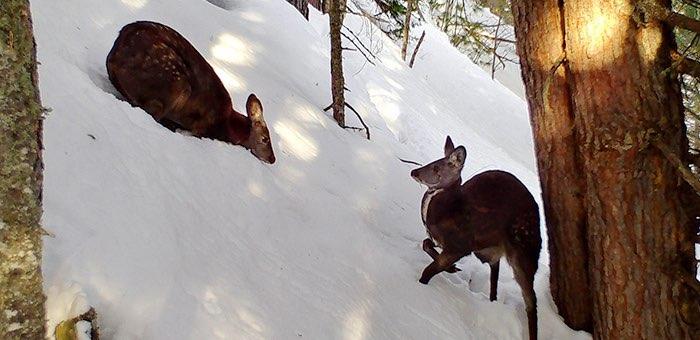 Встреча самца и самки кабарги попала на камеры в Алтайском заповеднике