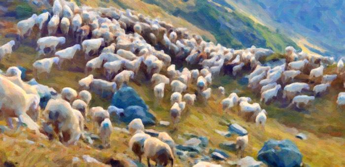 Владелец крупной отары овец не заметил пропажу 12 животных, о краже он узнал от оперативников
