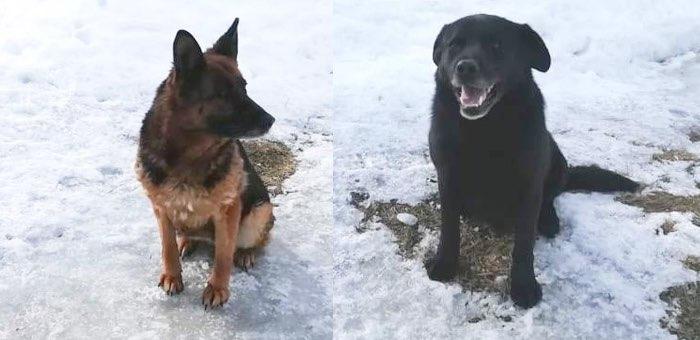 Кинологи из СИЗО отдают в добрые руки собак-ветеранов: немецкую овчарку и лабрадора