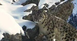В Катон-Карагайском природном парке фотоловушки впервые сняли снежного барса