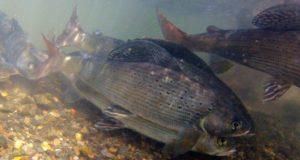 В Республике Алтай ограничивают рыбалку на время нереста