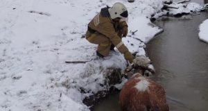 Пожарные Улагана спасли корову из ледяной реки