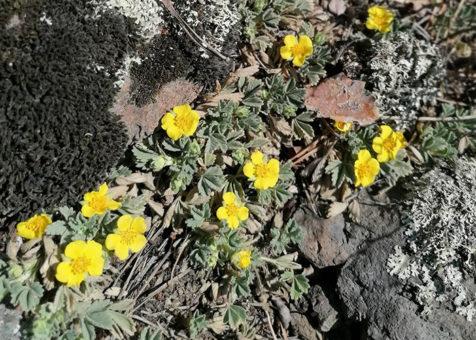На Алтае зацвел маральник и другие первоцветы