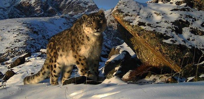 Сарычат-Эрташский заповедник и Сайлюгемский парк обменялись опытом в сохранении снежного барса