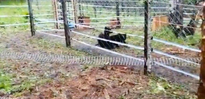 Первый Центр по реабилитации медвежат-сирот на Алтае приютил Мишку и Машку