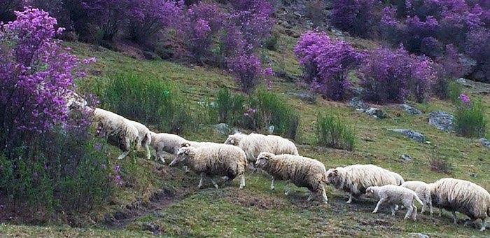 Чабан за лето съел 15 овец из стада, которое нанялся пасти