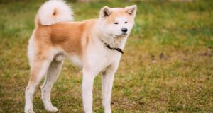 Проезжая через Барангол, житель Камлака заметил собаку редкой породы и увез ее с собой