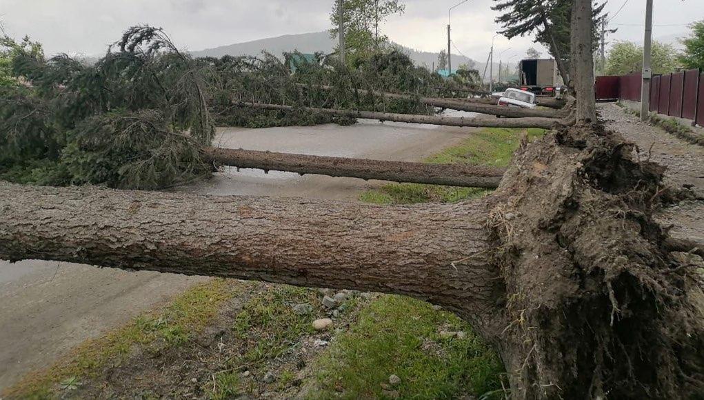 Из-за сильного ветра в Усть-Коксе на дорогу упали сразу семь деревьев