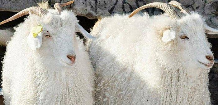 Племенных овец и коз Республики Алтай повезут на выставку в Бурятию