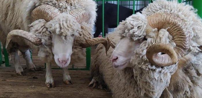 Хозяйства Республики Алтай заняли призовые места на выставке племенных овец и коз