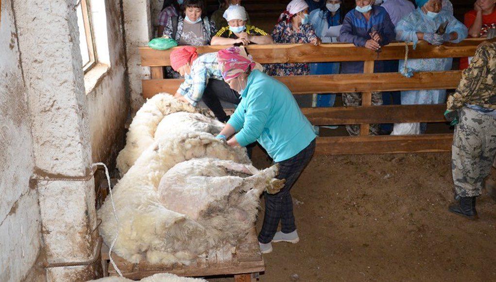 В Онгудайском районе прошел конкурс стригалей