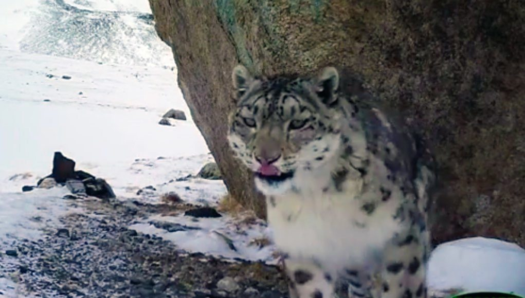 Молодой самец снежного барса Карагай «отметился» на фотоловушках