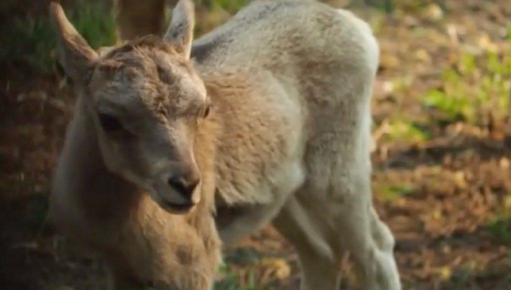 Аргали появились на свет в новосибирском зоопарке