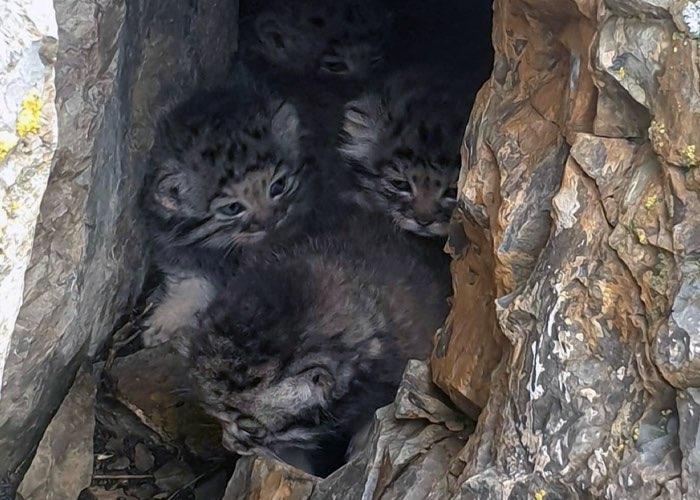 Уникальные кадры с котятами манула в логове сделали на Алтае