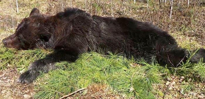 Убитый в Улаганском районе медведь оказался заражен трихинеллезом