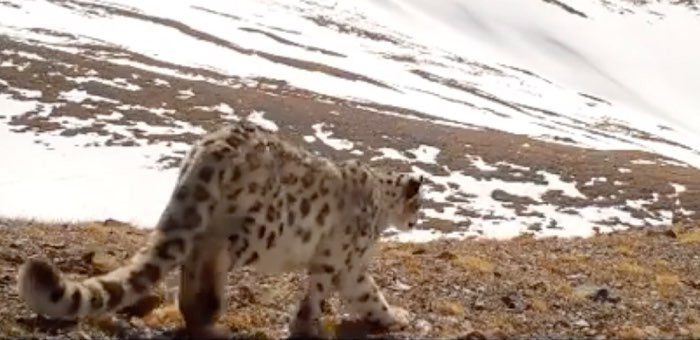 Видео с прогулкой снежного барса опубликовал Сайлюгемский парк