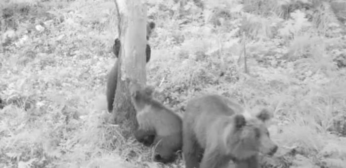 Медведица с игривыми медвежатами попала на видео возле кордона Алтайского заповедника