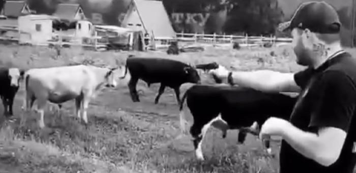 У блогера Литвина нашелся последователь: турист расстрелял коров из «травмата»