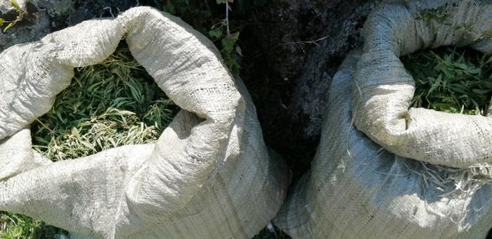 4 килограмма конопли собрал житель Алтайского края возле села Купчегень