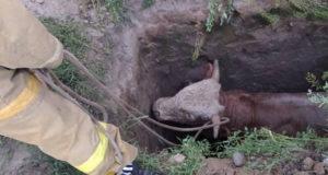 Пожарные спасли бычка, который несколько дней провел в яме