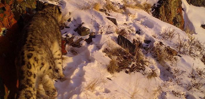 Проверяя фотоловушки на манула, новосибирские ученые обнаружили фото снежного барса