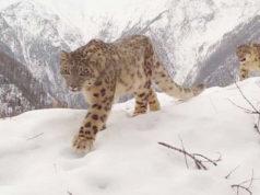 Новое место обитания снежных барсов обнаружено на Северо-Чуйском хребте